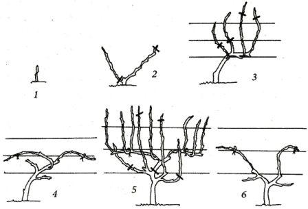 The formation of bushes of type two shoulders Guyot with trunks